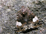 The Four-spotted (Tyta luctuosa)